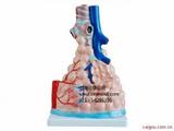 肺泡模型,肺泡放大模型