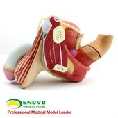 ENOVO頤諾醫學人體男性生殖器泌尿系統模型男科模型計生健康展示