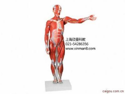 肌肉人模型