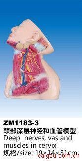 颈部深层神经和血管模型