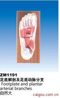 足底解剖及足底动脉分布
