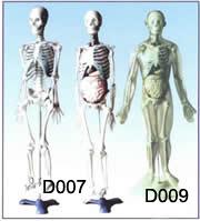 人体体表、人体骨骼与内脏关系模型