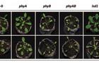 模塊式植物表型分析技術方案(七) ——擬南芥UV脅迫的響應機制