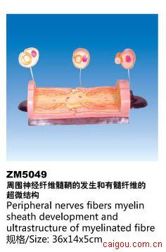周围神经纤维髓鞘的发生和有髓纤维的超微结构